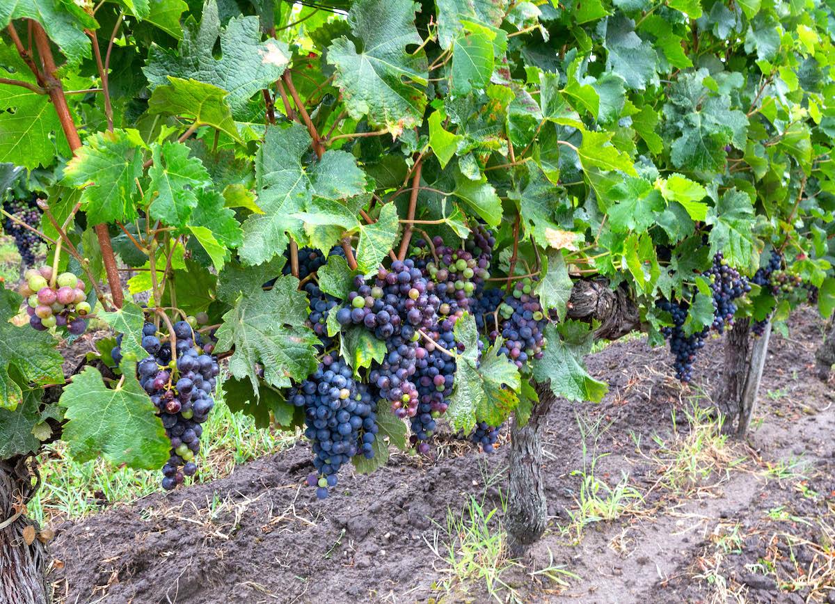 Dans les vignes ©Anne Lataillade